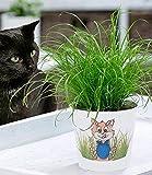 BALDUR Garten Katzengras, 1 Pflanze | fertig gewachsen | Zur Verdauungsunterstützung von Katzen |...