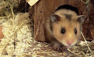 Häufige-Fragen-zu-artgerechter-Hamsterhaltung
