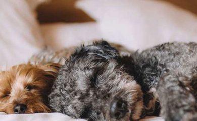 Hund-im-Bett