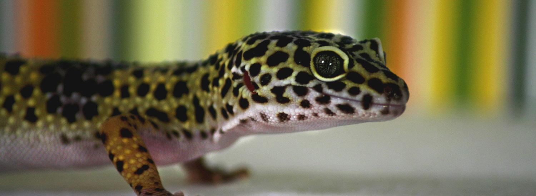 Gecko-Leitfaden