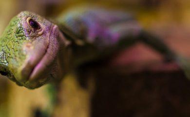 Gecko-Rassenguide