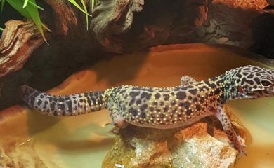 Leopardgecko-FAQ