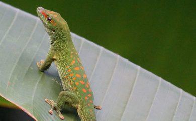 Madagaskargecko