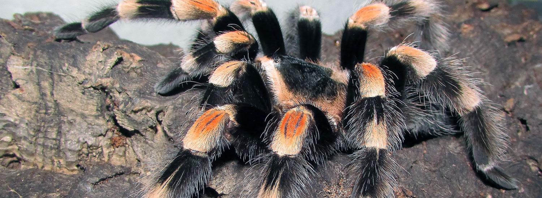 Vogelspinne-Leitfaden