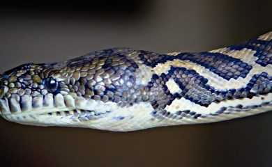 Körpersprache-Schlange