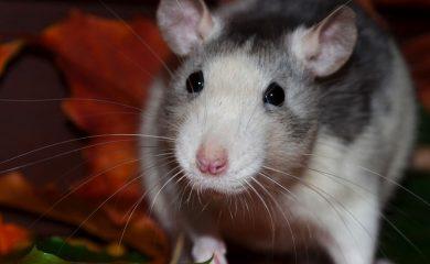 Ratte-artgerecht