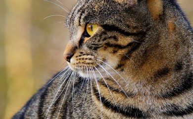 Beliebte-Katzenrassen