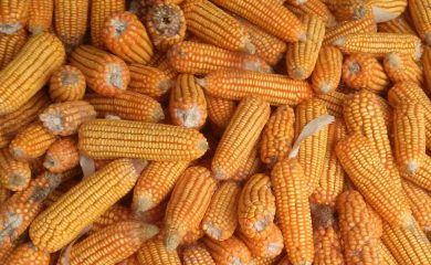 Dürfen-Hunde-Mais-essen