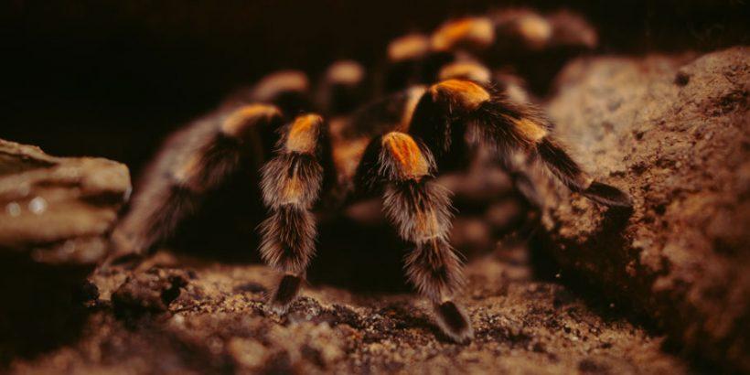 Vogelspinne-Gruppenhaltung
